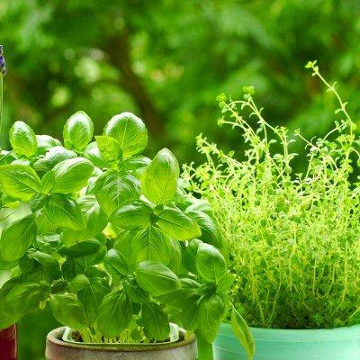 Распродажа семян, удобрений и садового инвентаря — Зелень, пряные травы