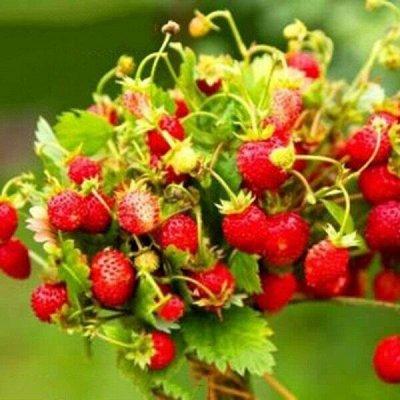Распродажа семян, удобрений и садового инвентаря — Земляника