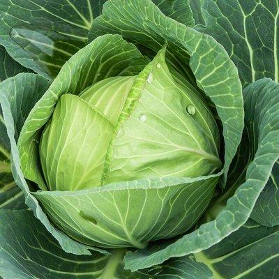 Распродажа семян, удобрений и садового инвентаря — Капуста