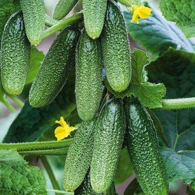 Распродажа семян, удобрений и садового инвентаря — Огурцы