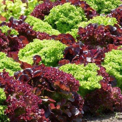Распродажа семян, удобрений и садового инвентаря — Салат
