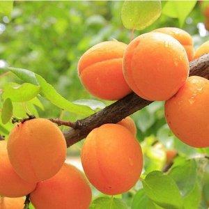 Добеле ОКС 1 год Высота растения Н 1.5-1.8 Один из вкуснейших сортов абрикоса! Самый поздний по цветению и созреванию - плоды созревают во второй половине августа. Зимостойкость высокая. Зимостойкость