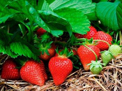 Саженцы земляники и клубники  — Саженцы  — Плодово-ягодные