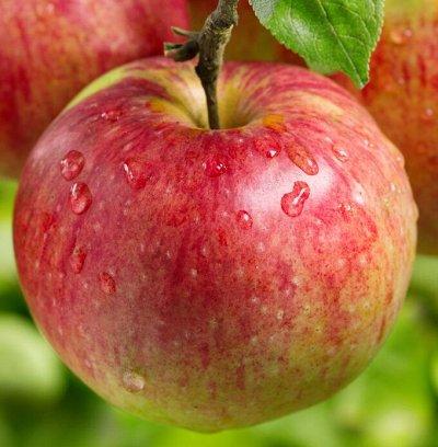 Плодовые саженцы! Таких цен просто нигде не бывает! — Яблоня — Плодово-ягодные
