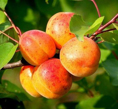 Плодовые саженцы! Таких цен просто нигде не бывает! — Абрикос — Плодово-ягодные