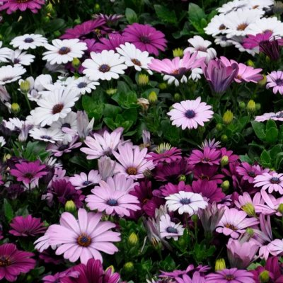 Распродажа растений. Быстрая раздача — ОДНОЛЕТНИЕ цветы
