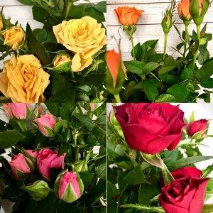 Роза Диаметр горшка: 8 см Высота примерно 15 см  Фото наше! Реальное!  Роза Кордана – линия сортов миниатюрных кустарников из семейства Розоцветных и подсемейства Розовых. Ее любят разводить в домах и