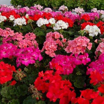Цветущие саженцы в наличии! Идеальное качество! — Пеларгонии зональные — Декоративноцветущие