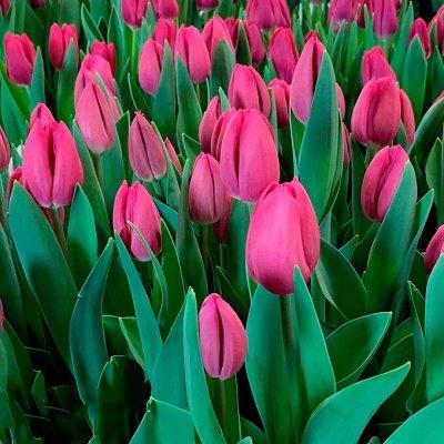 Луковицы тюльпана, крокуса, ириса и гиацинта — Тюльпаны Осень 2021