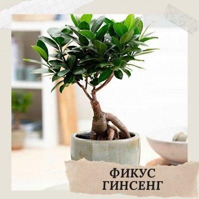 Хищный Sale! Огромный выбор комнатных растений!   — Фикус микрокарпа Гинсенг — Декоративнолистные