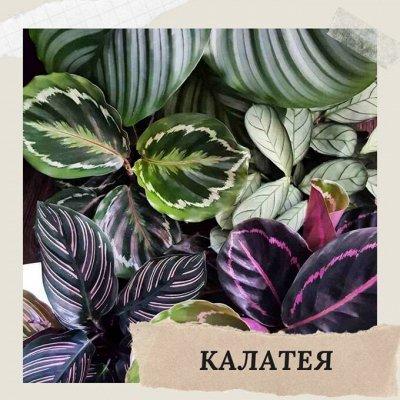 Хищный Sale! Огромный выбор комнатных растений!   — Калатея — Декоративнолистные