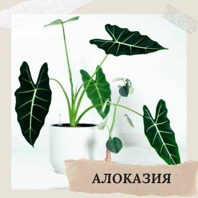 Хищный Sale! Огромный выбор комнатных растений!   — Алоказия — Декоративнолистные