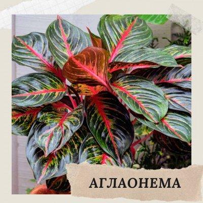 Хищный Sale! Огромный выбор комнатных растений!   — Аглаонема — Декоративнолистные