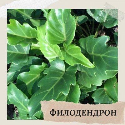 Хищный Sale! Огромный выбор комнатных растений!   — Филодендрон — Декоративнолистные