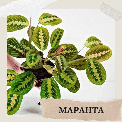 Хищный Sale! Огромный выбор комнатных растений!   — Маранта — Декоративнолистные