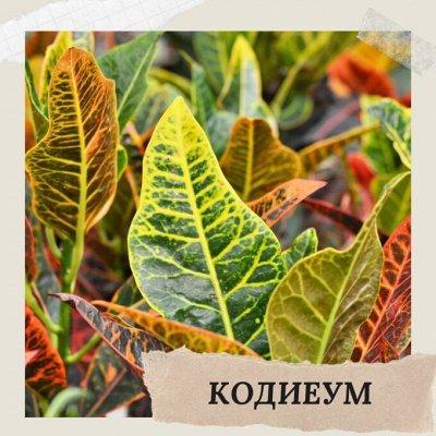 Хищный Sale! Огромный выбор комнатных растений!   — Кодиеум — Декоративнолистные