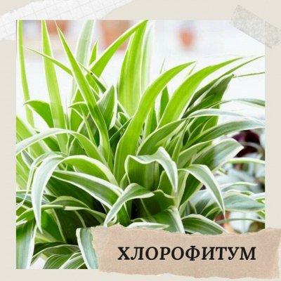 Хищный Sale! Огромный выбор комнатных растений!   — Хлорофитум — Декоративнолистные