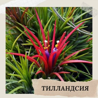 Хищный Sale! Огромный выбор комнатных растений!   — Тилландсии — Декоративнолистные