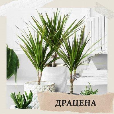 Хищный Sale! Огромный выбор комнатных растений!   — Драцена — Декоративнолистные