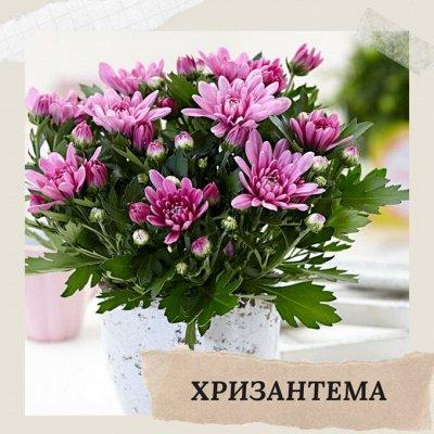 Хищный Sale! Огромный выбор комнатных растений!   — Хризантема — Декоративноцветущие