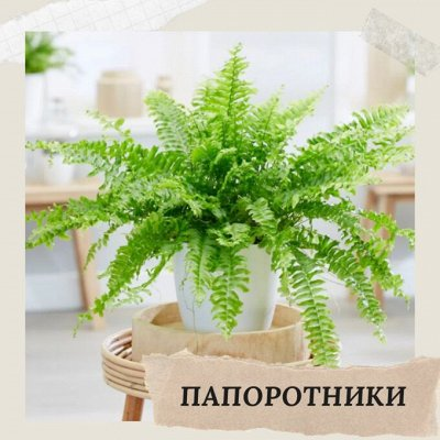 Хищный Sale! Огромный выбор комнатных растений!   — Папоротники — Декоративнолистные