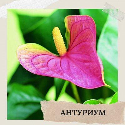 Хищный Sale! Огромный выбор комнатных растений!   — Антуриум — Декоративноцветущие