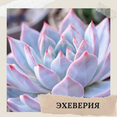 Хищный Sale! Огромный выбор комнатных растений!   — Эхеверия — Комнатные растения и уход