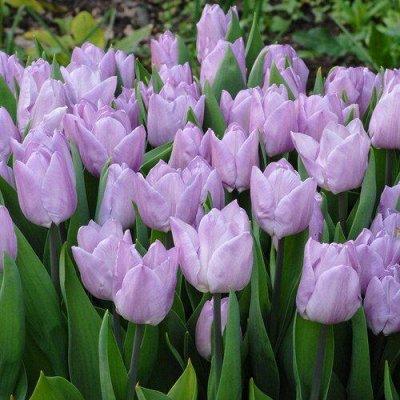 Луковичные на осень 2021 — Тюльпаны Простые Ранние