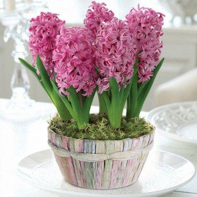 Луковичные(тюльпаны, нарциссы) предзаказ на осень 2021 — Гиацинты садовые