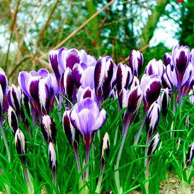 Луковичные(тюльпаны, нарциссы) предзаказ на осень 2021 — Крокусы зибера