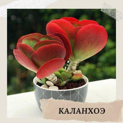 Хищный Sale! Огромный выбор комнатных растений!   — Каланхоэ — Декоративнолистные