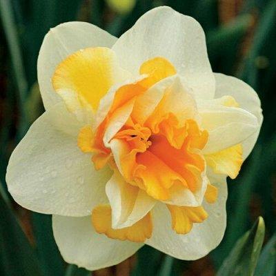 Луковичные(тюльпаны, нарциссы). Свободное на осень — Нарциссы махровые