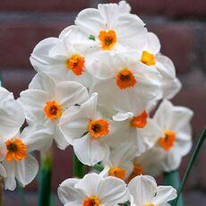 Луковичные(тюльпаны, нарциссы). Свободное на осень — Нарциссы Тацеттовидные