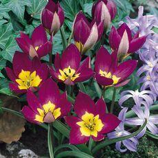 Луковичные(тюльпаны, нарциссы). Свободное на осень — Тюльпаны Ботанические