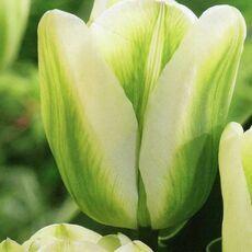 Луковичные(тюльпаны, нарциссы). Свободное на осень — Тюльпаны зеленоцветные