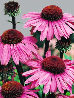Рудбекия пурпурная Розовая ЦП