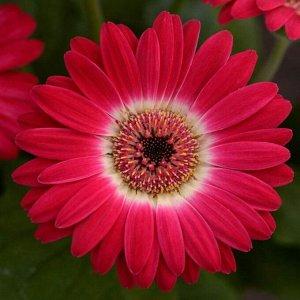 """Комнатный цветок Гербера """"Макси Селект"""", малиновая, горшок D13"""