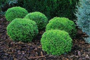 Туя Хозери Сорт туи «Хозери» появился благодаря селекционерам из Польши. Отличительной особенностью кустарника является относительно небольшой размер и округлая форма. В длину растение достигает не бо