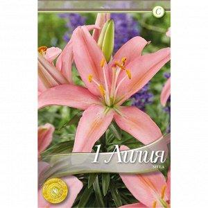 Силла Цена за упаковку В упаковке 60 луковиц Размер 12/14 Цвет: лиловый