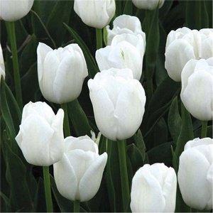 Антарктика Цена за упаковку В упаковке 10 луковиц Размер 11/12 Цвет: белоснежный