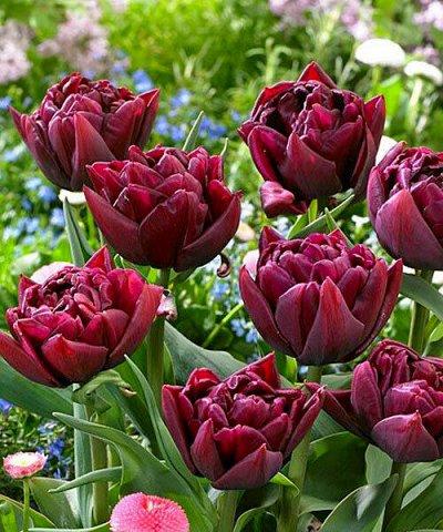 Луковичные на осень 2021 — Тюльпаны Махровые Ранние