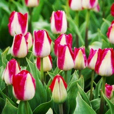 Луковичные на осень 2021 — Тюльпаны Триумф