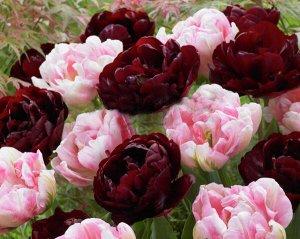Микс тюльпанов (Дабл Контраст)
