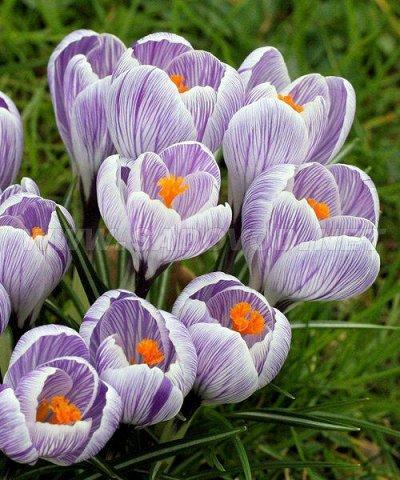 Луковичные на осень 2021 — Крокусы Крупноцветковые