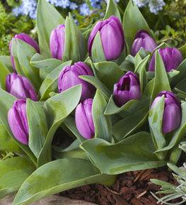 Луковичные на осень 2021 — Тюльпаны Простые Поздние
