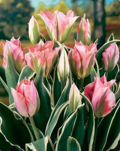 Луковичные на осень 2021 — Тюльпаны Зеленоцветные