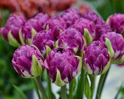 Луковичные на осень 2021 — Тюльпаны Махровые Поздние