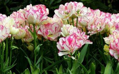 Луковичные на осень 2021 — Тюльпаны Многоцветковые букетные