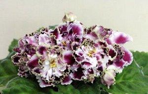 Фиалка Необычайно красивые крупные махровые и полумахровые гофрированных белые цветы со сливовыми «напечатками», с гофрированной салатовой бахромкой. Средне - зелёная волнистая листва.