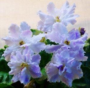 Фиалка Крупные белые махровые цветы с удлинёнными лепестками и лавандовыми напечатками. Светло – зелёная зубчатая листва.